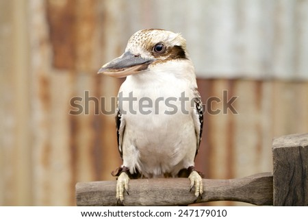 Australian laughing kookaburra or kingfisher on branch - stock photo