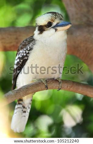 australian laughing kookaburra or kingfisher on branch, mackay, queensland, australia - stock photo