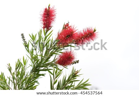 Australian native Bottlebrush, natural Callistemon flowers with green foliage
