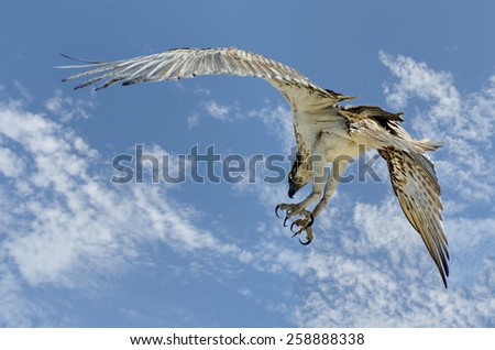 Australian  Osprey Sea Eagle (Pandion haliaetus) - stock photo