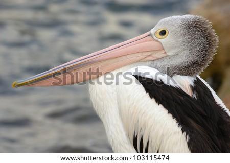 Australian Pelican (Pelecanus conspicillatus) on Kangaroo Island, off Adelaide, South Australia - stock photo