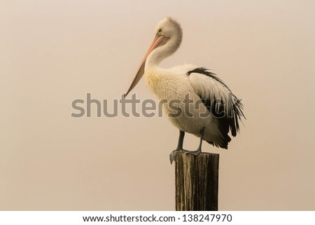 Australian pelican standing on a post, on isolated white background. - stock photo