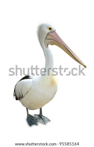 Australian pelican standing proud on a white background. - stock photo