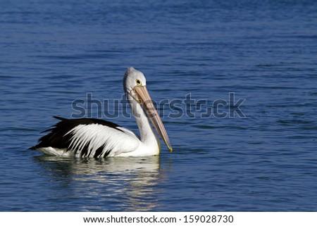 Australian pelican swimming - stock photo
