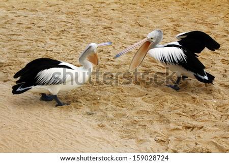 Australian pelicans fighting - stock photo