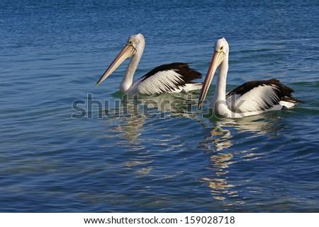 Australian pelicans swimming - stock photo