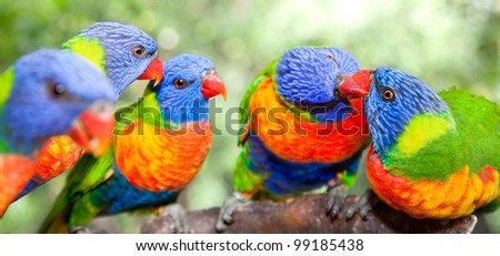 Australian rainbow lorikeets. Australia beautiful birds kissing on branch - stock photo