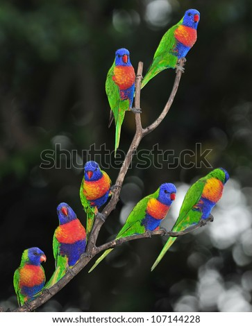 Australian rainbow lorikeets gathered on tree , byron bay, australia. group flock colorful parrots exotic birds in vibrant lush jungle tropical setting - stock photo