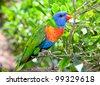 Australian rainbow lorikeets on branch in nature surrounding - stock photo