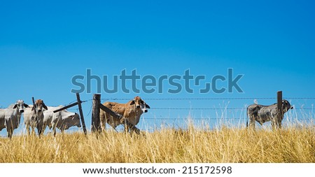 Australian rural landscape with beef cattle brahman cows on the horizon behind a barbed wire fence - stock photo