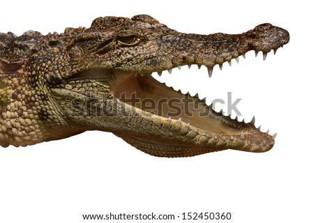 Australian saltwater crocodile, Crocodylus porosus, jaws open wide on a white background.  - stock photo