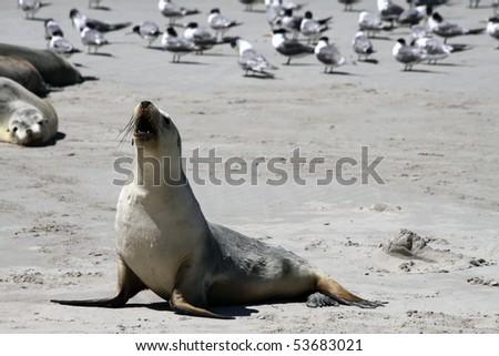 Australian Sea Lion. Kangaroo Island. Australia - stock photo
