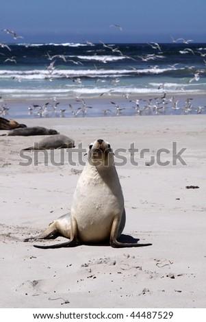 Australian sea lion (Neophoca cinerea)  at seal Bay, Kangaroo Island, South Australia    - stock photo