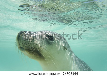 Australian sea lion, Neophoca cinerea, being very curious in the wild. - stock photo