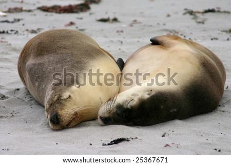 Australian sea lion (Neophoca cinerea) friends sleep on a beach at Seal Bay, Kangaroo Island, South Australia - stock photo