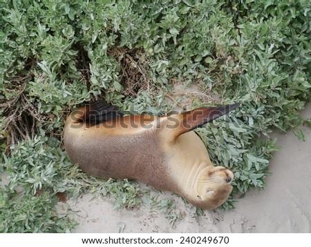 Australian sea lion (Neophoca cinerea) on the beach of Kangaroo island in Australia - stock photo