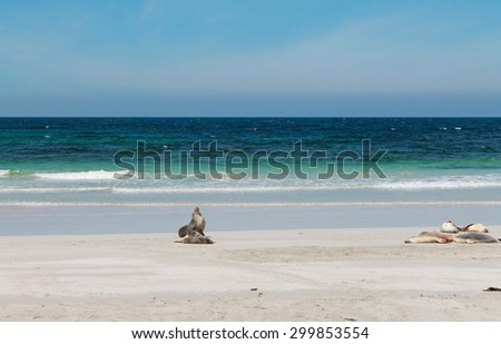 Australian sea lion (Neophoca cinerea) on the beach of Kangaroo island in Australia - stock photo