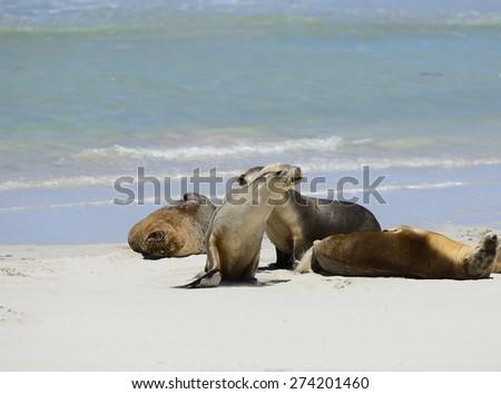 Australian Sea lion, Seal Bay, Kangaroo Island, South Australia - stock photo