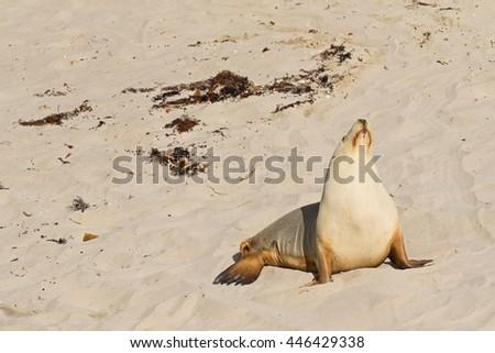 Australian Sea Lion sunbathing on sand at Seal Bay, Sea lion colony on south coast of Kangaroo Island, South Australia - stock photo