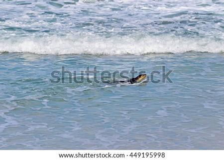 Australian Sea lion swimming at Seal Bay, Sea lion colony on south coast of Kangaroo Island, South Australia - stock photo