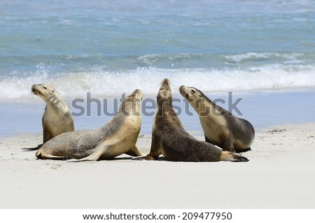 Australian Sea lions, Seal Bay, Kangaroo Island, South Australia - stock photo