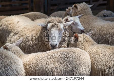 Australian sheep - stock photo