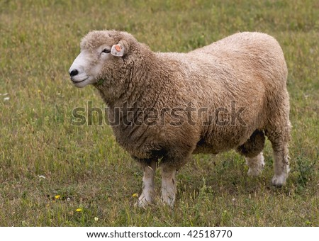 Australian sheep. - stock photo