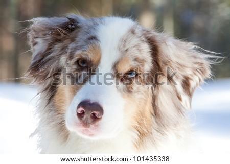 Australian Shepherd - stock photo