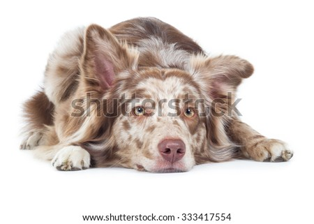 Australian Shepherd (Aussie) Dog lying on the floor
