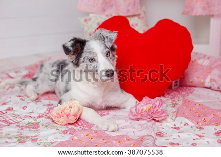Australian Shepherd (Aussie ), 3 months old, sitting against Romantic pink decorations. Little Princess