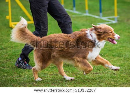 Australian Shepherd dog and a woman on an agility field