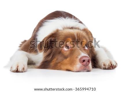 Australian Shepherd dog breed dog red merle lying on floor and looks sad aside - stock photo
