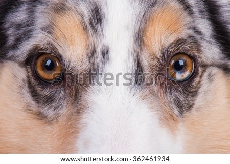 Australian Shepherd Dog Eyes - stock photo