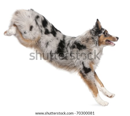 Australian Shepherd dog jumping, 7 months old, in front of white background - stock photo