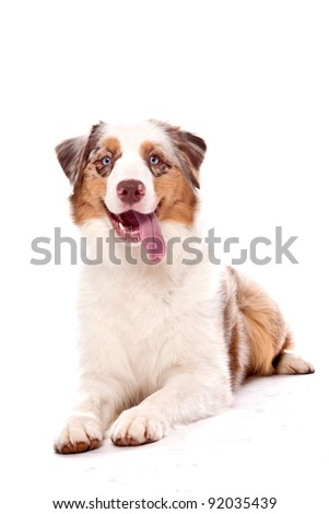 Australian Shepherd dog laying down looking at the camera with a smile - stock photo