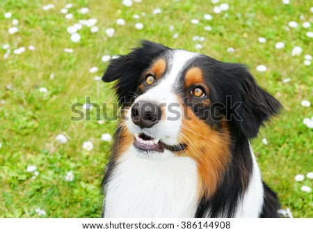 Australian shepherd dog looking up