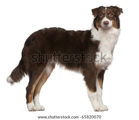 Australian Shepherd dog, 7 months old, standing in front of white background - stock photo