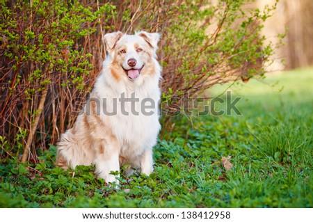 australian shepherd dog outdoors - stock photo