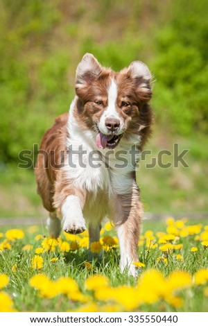 Australian shepherd dog playing on the field with dandelions - stock photo