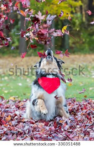 Australian Shepherd dog playing outside in the leaves - stock photo