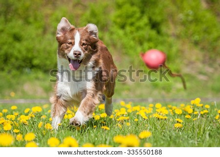 Australian shepherd dog playing with a ball on the field with dandelions - stock photo