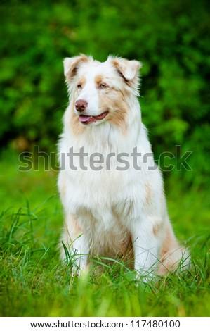 australian shepherd dog portrait - stock photo