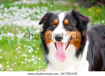Australian shepherd dog portrait - stock photo