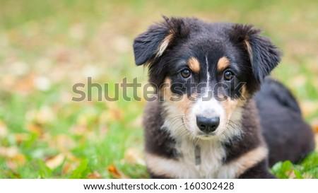 Australian Shepherd dog portrait outdoors. - stock photo