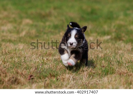 australian shepherd dog puppy on meadow