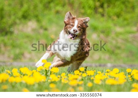 Australian shepherd dog running on the field with dandelions - stock photo
