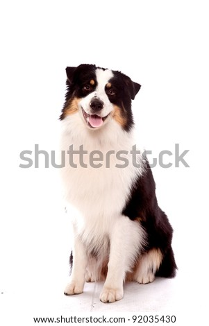 Australian Shepherd dog sitting down looking at the camera with a smile - stock photo