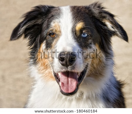 Australian shepherd dog with different colored eyes head shot  - stock photo