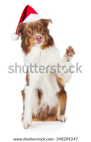 Australian Shepherd dog with Santa hat waving paw and smile brown red merle