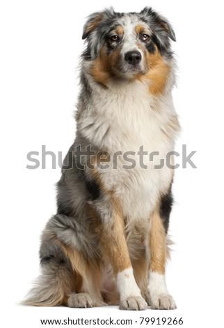 Australian Shepherd dog, 1 year old, sitting in front of white background - stock photo